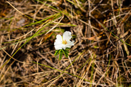 A single cloudberry flower in bright white. Cloudberries grows on a swampy terrain. Imagens