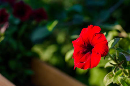 Beautiful red petunia flower. The sun's rays illuminate the delicate flower. 写真素材