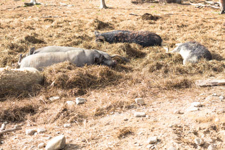 A few gray piglets bask in the sun. Piglets are in the straw in their place to rest.