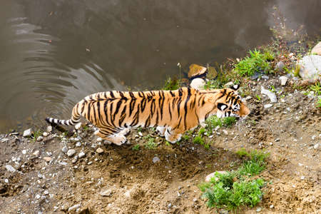 View of the tiger from above. A tiger walks near a pond along a sandy shore.
