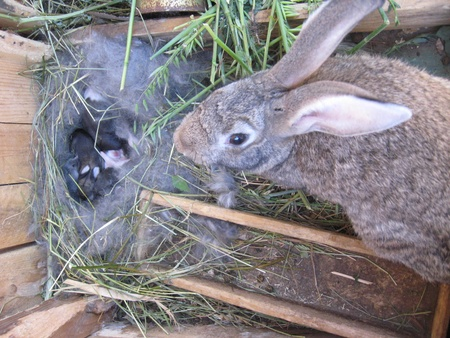 brood: brood of the little rabbits