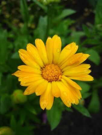 calendula: beautiful flower of calendula Stock Photo