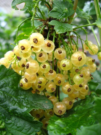 Cluster of berries of a white currant photo