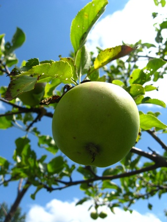 very tasty and ripe apple photo