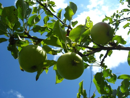 very tasty and ripe apple hanging on the tree photo
