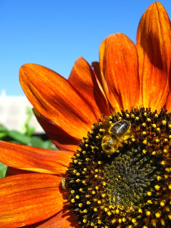 a little bee on the beautiful sunflower photo