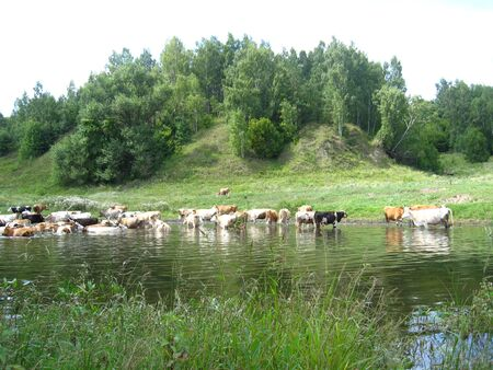 Landscape with the river and watering of cows photo