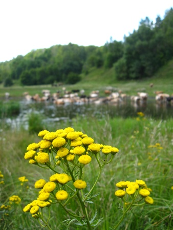Small yellow camomiles on a background of river photo