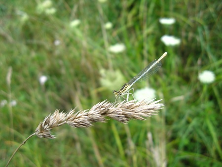 a little dragonfly sitting on the spikelet photo