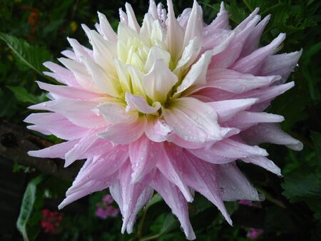 a beautiful flower of pink dahlia Stock Photo - 12424632