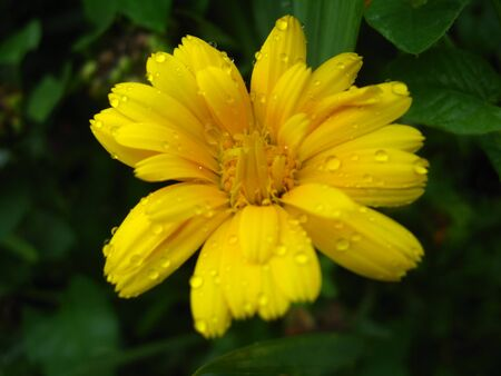 calendula: beautiful flower of calendula after rain Stock Photo