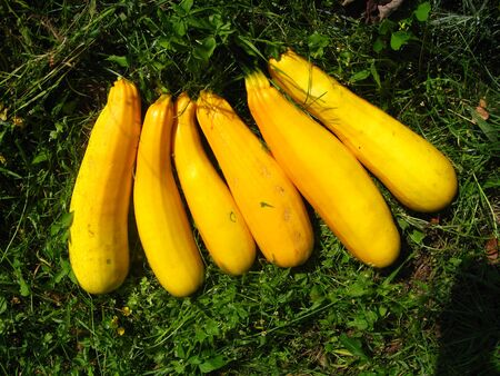 harvest of yellow squashes on the grass Stock Photo