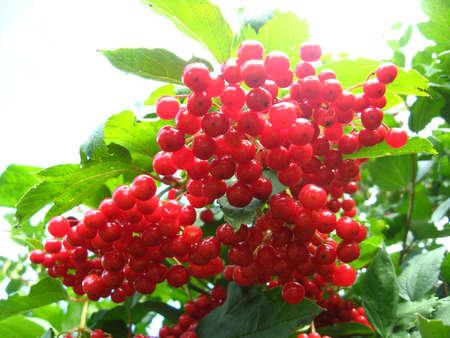 guelderrose: Cluster of a red ripe guelder-rose