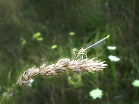 dragonfly sitting on the spikelet Stock Photo - 12424840