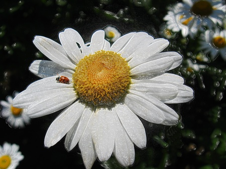 a little ladybird on the chamomile photo