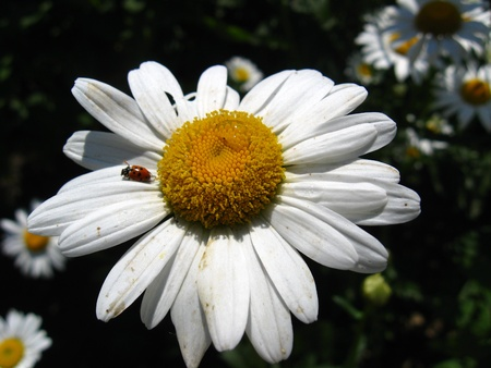 a little ladybird on the white chamomile photo