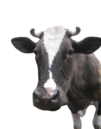 Black-and-white cow on the white background  photo