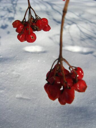 guelderrose: red guelder-rose on a bush on a background of a snow