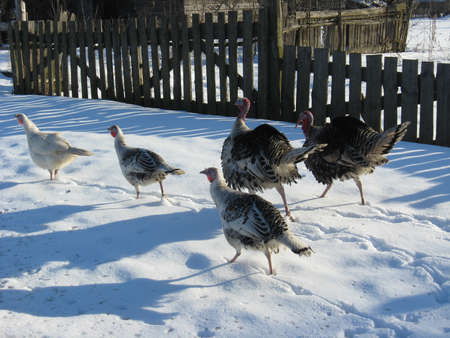 The flight of turkey-cocks goes on a snow photo