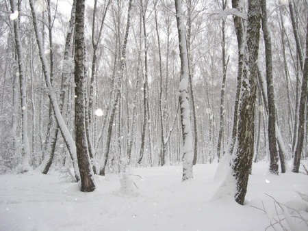 Winter landscape in a wood with birches and snowdrifts Stock Photo