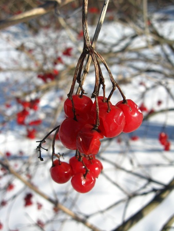 guelder rose berry: Cluster of a red ripe guelder-rose