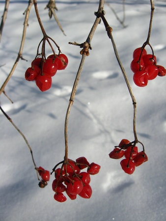 guelder rose berry: bunches of red guelder-rose on a bush on a background of a snow