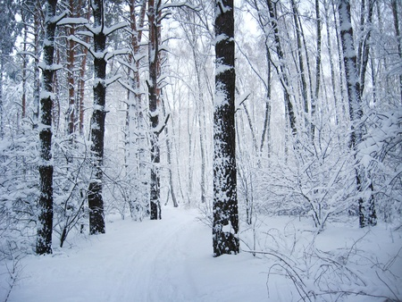 Winter landscape in a forest photo