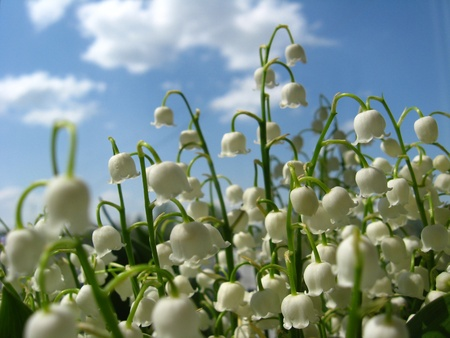 Beautiful flowers of a lily of the valley Stock Photo