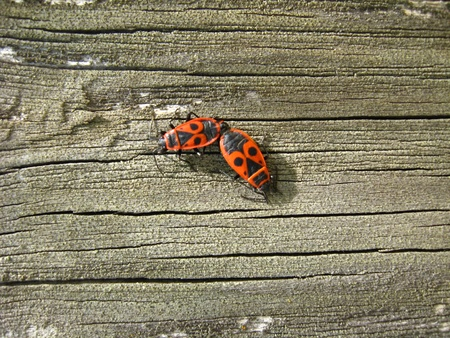 Pair of the motley bugs on the bark photo