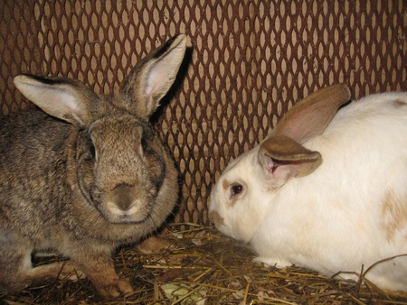 The pair of young domestic rabbits,white and grey Stock Photo - 13831845