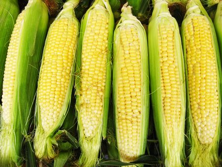 Harvest of a maize Stock Photo - 14665680