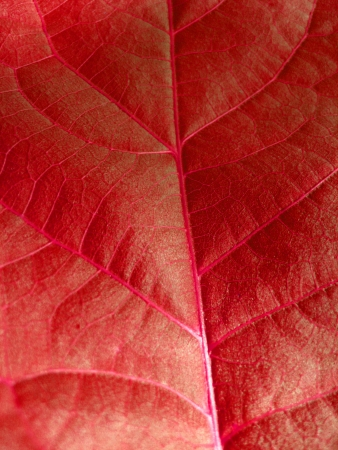 Very unusual background of red colored leaf photo