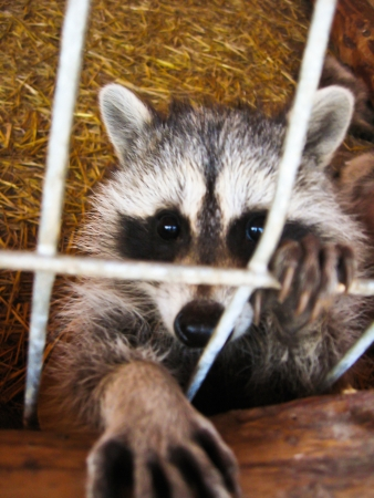 The image of raccoon with asking paw behind a bar photo