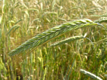 the image of the field of spikelets of the wheat Stock Photo - 15149358