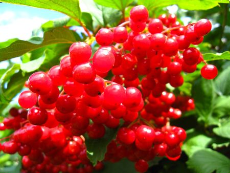guelderrose: The image of cluster of a red ripe guelder-rose Stock Photo