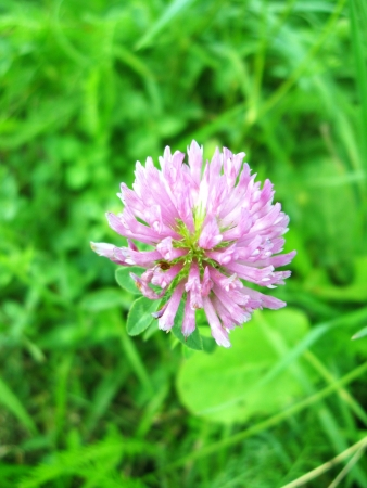 The image of pink flower of clover Stock Photo - 15481496