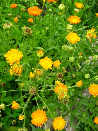 calendula: beautiful flowers of calendula growing on the bed Stock Photo