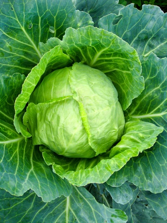 The image of big head of ripe cabbage Stock Photo