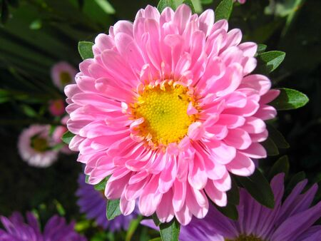 The image of beautiful and bright red aster