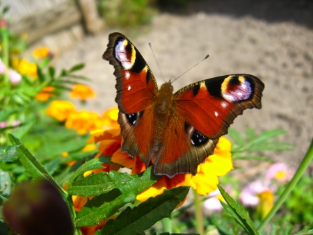 The graceful butterfly of peacock eye sitting on the flower Stock Photo