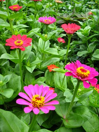 The image of bed of fine zinnia photo