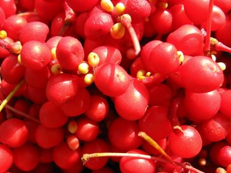 Het beeld van de oogst van rode Schizandra