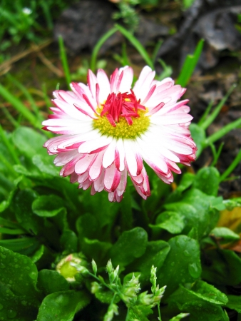 mayflower: Beautiful and gentle flower of a daisy Stock Photo