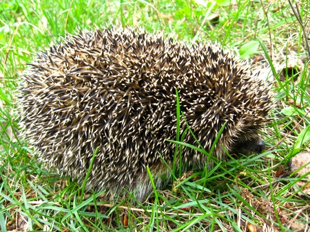 Photo of the small hedgehog in a green grass photo