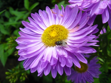 The fly on the beautiful and bright blue aster photo