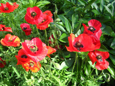 opium: The image of the beautiful red flowers of a poppy