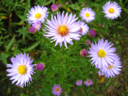 The image of beautiful and bright blue asters Stock Photo