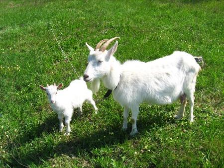 queso de cabra: Cabra y ni�o en el pasto verde