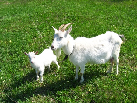 goat horns: Goat and kid on the green pasture Stock Photo