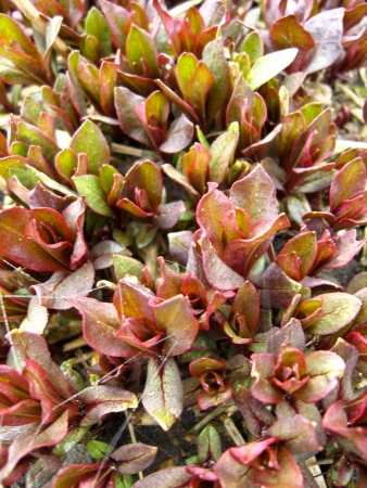 claret: the image of claret background from leaves of a plant